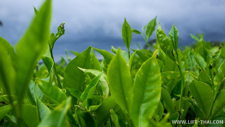 Чайные плантации Камерон Хайлендс - зелёное вдохновение