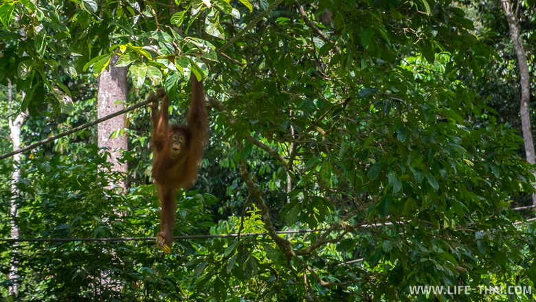 Центр реабилитации орангутангов в Сандакане, Малайзия