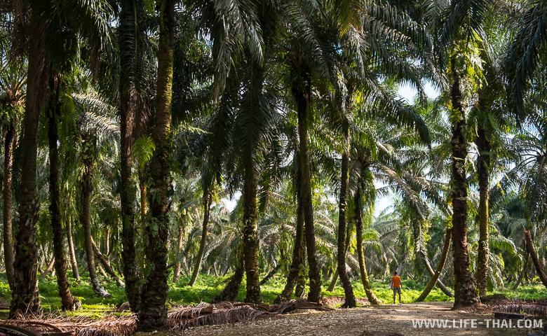 Плантация масличной пальмы на острове Борнео, Малайзия