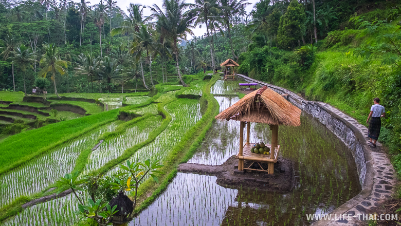 Рисовые террасы в Убуде, Бали