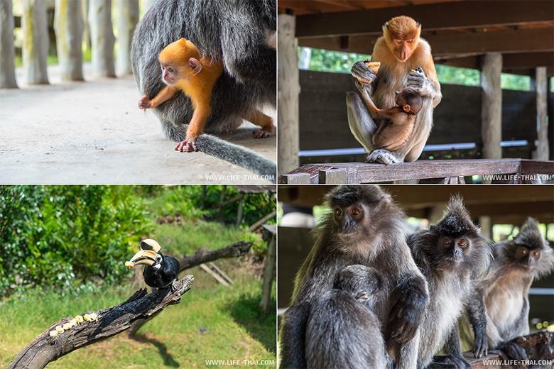 Длинноносые обезьяны и другие животные в Лабук Бэй, Борнео