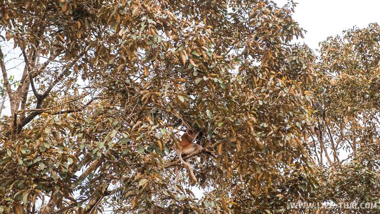 Носатая обезьяна сидит на дереве, остров Борнео, Малайзия