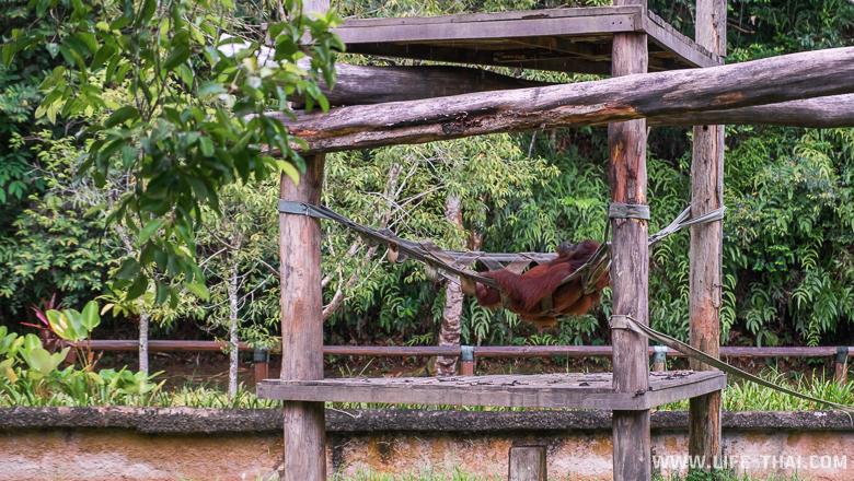 Орангутанг релаксирует, парк Лок Кави, остров Борнео, Малайзия
