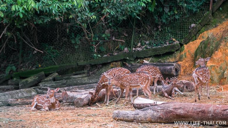 Бэмби,парк Лок Кави, Кота Кинабалу, Малайзия
