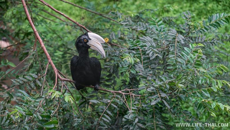 Птица-носорог, парк Лок Кави, Кота Кинабалу, Малайзия