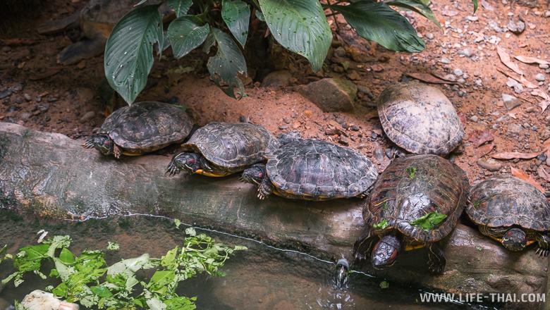 Черепахи, Борнео, Малайзия