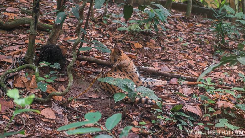 Кошачьи, Борнео, Малайзия
