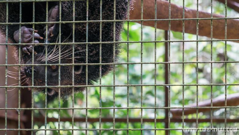 Пушистый зверь-нюхач, парк Лок Кави, Кота Кинабалу, Малайзия