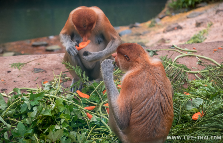 Кормление обезьян-носачей в парке Лок Кави, Кота-Кинабалу, Малайзия
