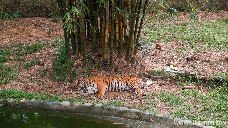 Спящий тигр на острове Борнео, Малайзия
