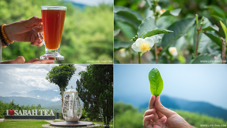 Чайные плантации Сабах, Борнео, Малайзия