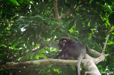 Обезьяны в джунглях Лангкави, Малайзия
