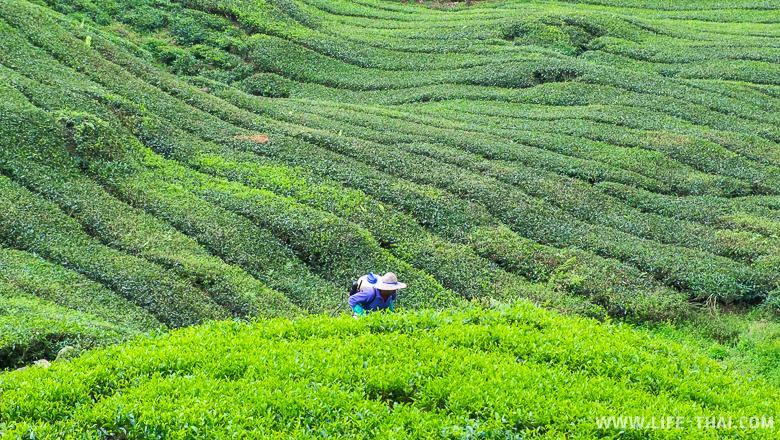Чайные плантации в Камерон Хайлендс недалеко от Куала Лумпура