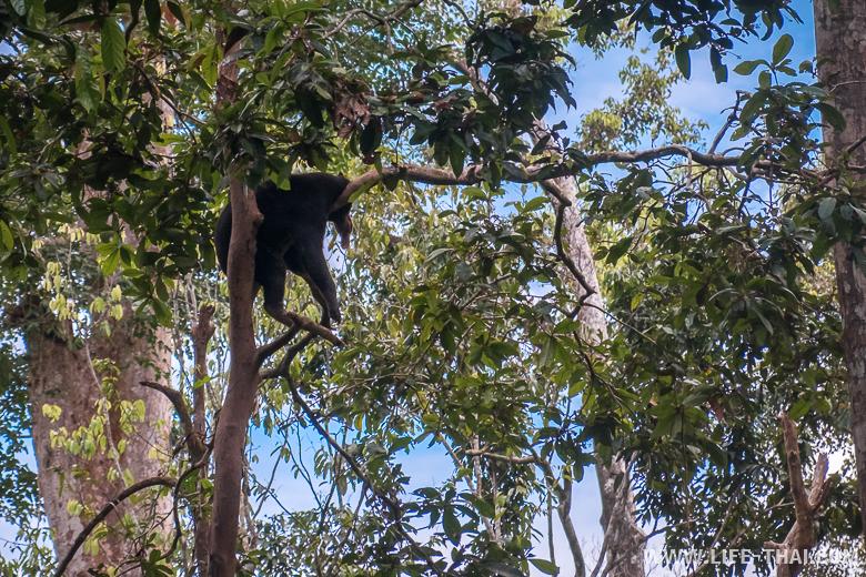 Солнечный медведь или бируанг спит на дереве в Сепилоке