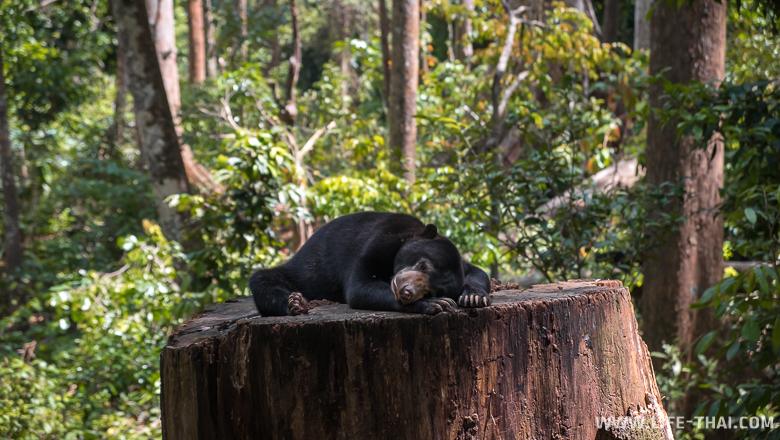 Солнечный медведь или бируанг спит на пне в Сепилоке