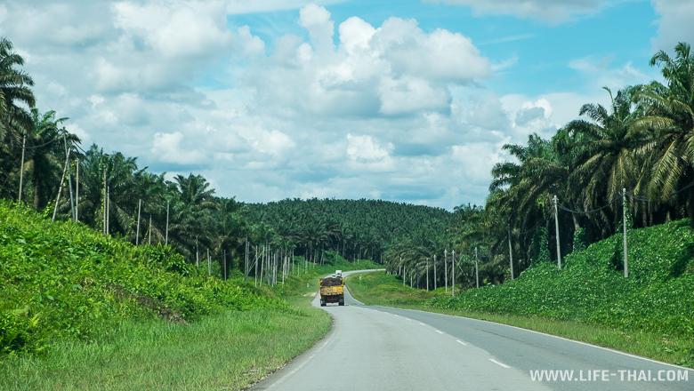 Плантации масличной пальмы по дороге в пещеры Гоматонг, Сабах