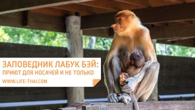 Labuk bay sanctuary: заповедник-приют обезьян-носачей и не только