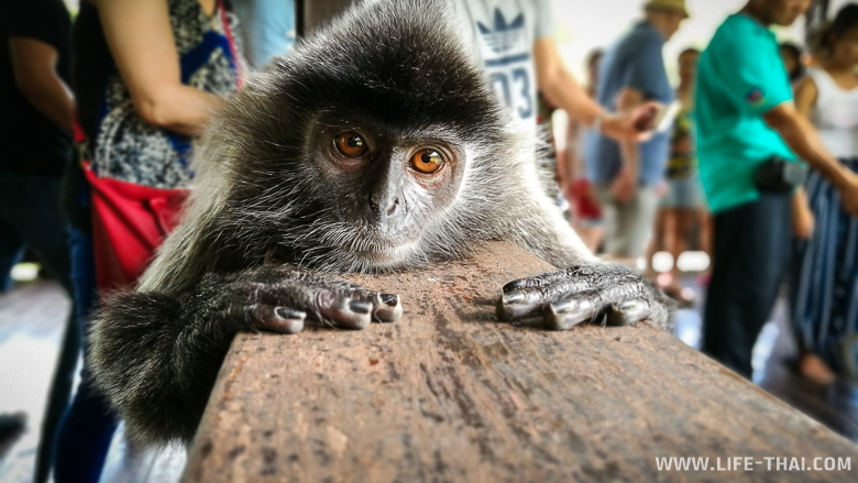 Портрет обезьянки, остров Борнео
