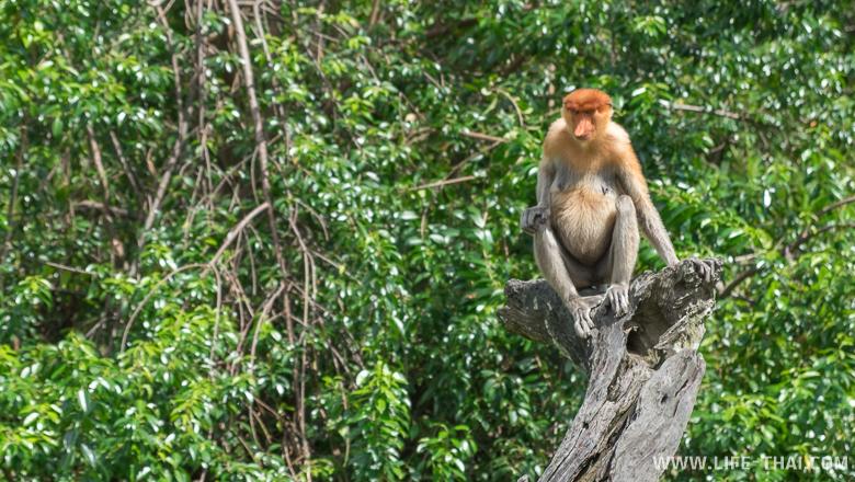 Носаятая обезьяна сидит на ветке дерева, остров Борнео