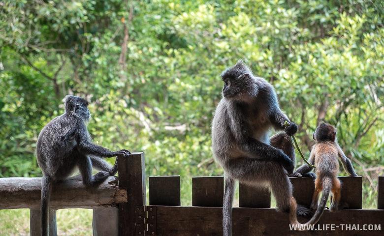 Обезьяны-тонкотелы сидят на заборе. Заповедник Лабук бэй