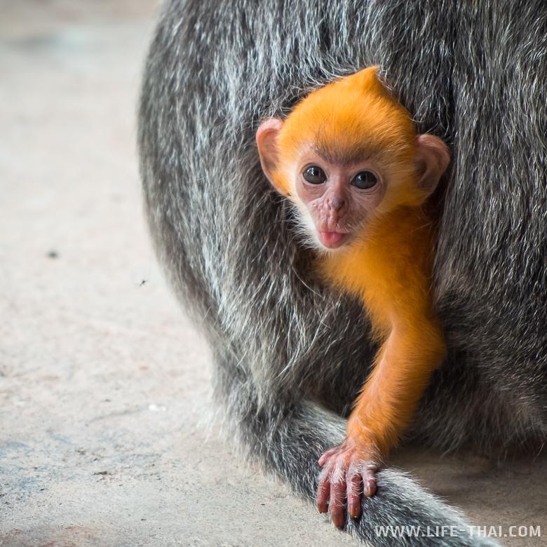 Забияка - малыш-тонкотел на острове Борнео