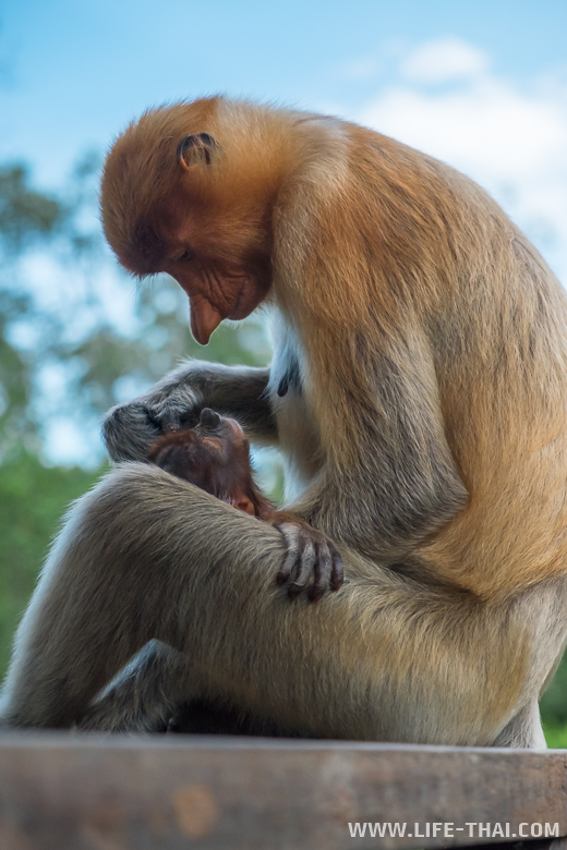 Самка Proboscis monkey с детёнышем, Сандакан, Малайзия