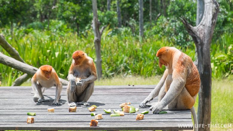 Кормление диких обезьян-носачей в заповеднике, Малайзия