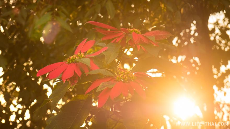 Красные цветы на рассвете
