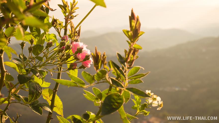 Цветок розы на фоне горного пейзажа Мэсалонга