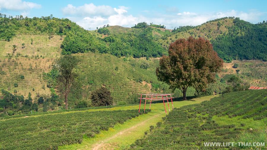 Чайные плантации и китайские арки - идеально для селфи и фотосессий