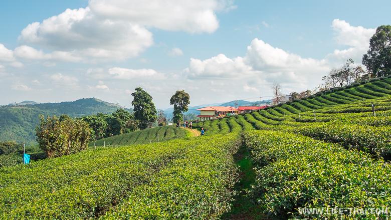 Чайные плантации 101 - достопримечательность Мэсалонг