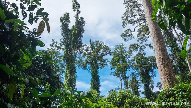 Дождевые леса в Сепилоке, остров Борнео