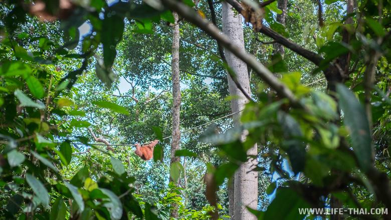 Орангутанг на ветке дерева смотрит вниз