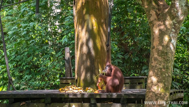 Орангутанг обедает бананами