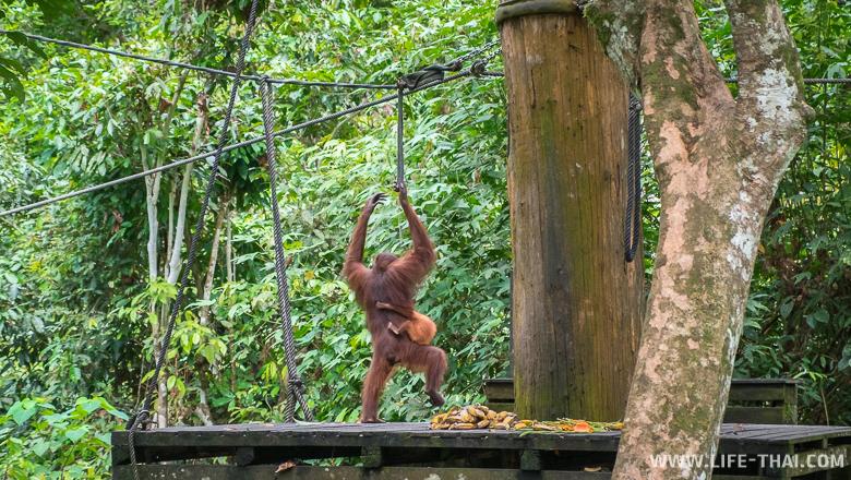 Орангутанг с детёнышем