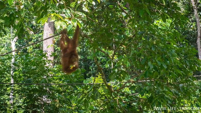 Орангутанг висит на верёвке и есть банан