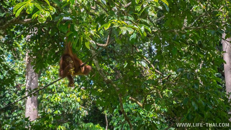 Реабилитационный центр орангутангов Сепилок, Малайзия