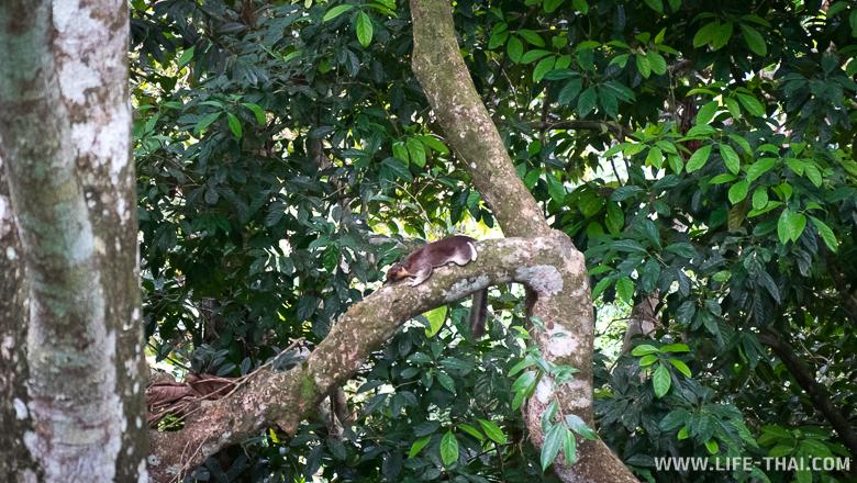 Гигантская белка на острове Борнео