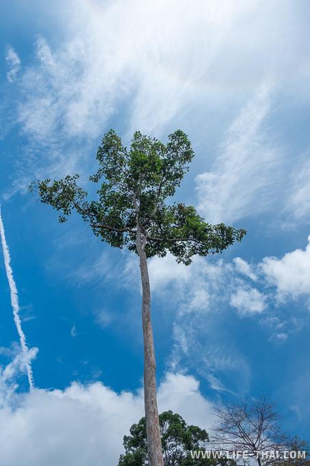 Дерево с 25-этажный дом в джунглях Борнео