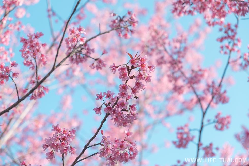 В январе на севере Таиланда расцветает сакура - вишня