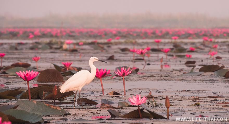 Белая птица стоит среди лотосов