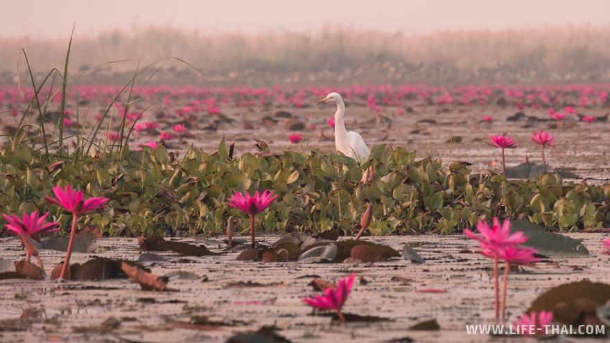 Белая птица стоит на лотосах