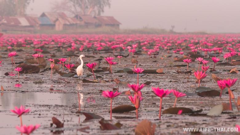 Белая птица среди красных лотосов - полная совместимость
