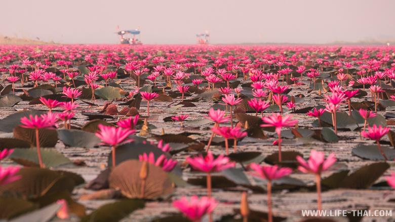 Красная поляна цветущих лотосов