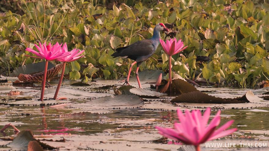 Сине-черная птица с красной головой гуляет по лотосам