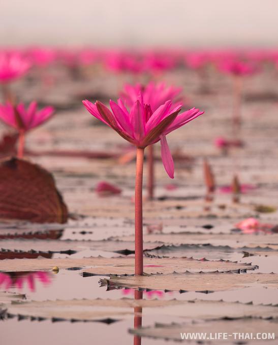 Много цветков лотоса на озере в Удон Тхани