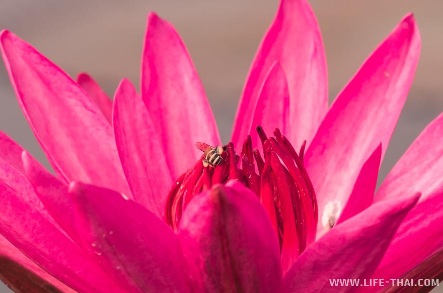 Пчела на цветке лотоса крупным планом