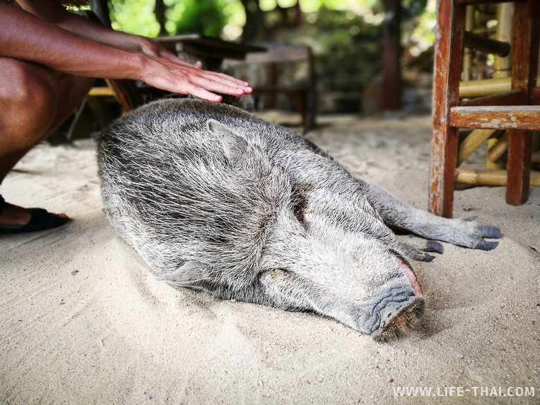 Свин, который живёт на Пангане в Корал бич бар