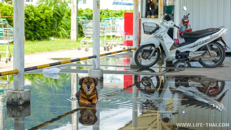 Собака лежит в луже после дождя на Пхукете в ноябре