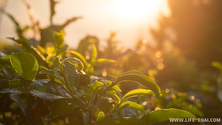 Рассвет на чайных плантациях в Бан Рак Тай